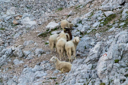 Group of sheeps resting on mountain path Stockfoto
