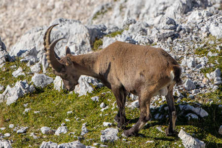 Adult ibex pasturing in Julian alps Banque d'images