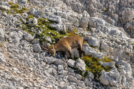 Adult ibex resting on rocks high mountains