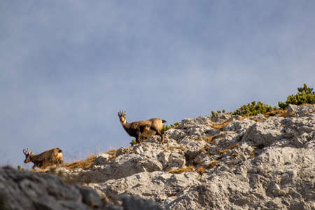 Two chamoises on a mountain side Banque d'images