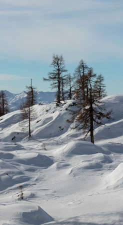 A few larch trees in winter time Banque d'images