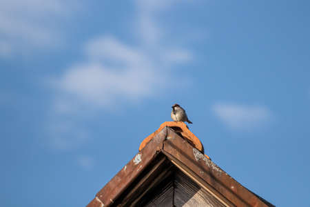 House sparrow sitting on rooftop
