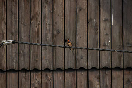 Barn swallow resting on electric cable, close up Stok Fotoğraf