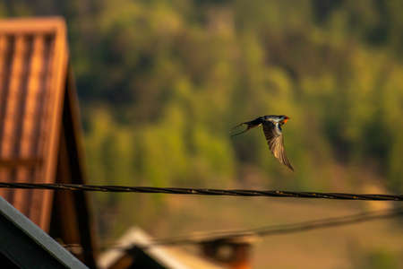 barn swallow flying over electric cable