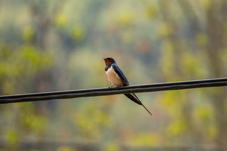 Barn swallow standing on electric cable, close up