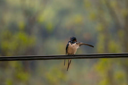 Barn swallow standing on electric cable