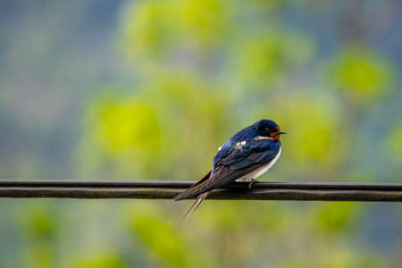 Barn swallow resting on cable Stok Fotoğraf