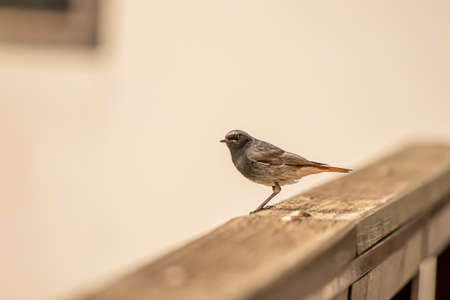 Male black redstart resting on balcony