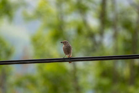 Black redstart sitting on electric cable, close up Stok Fotoğraf