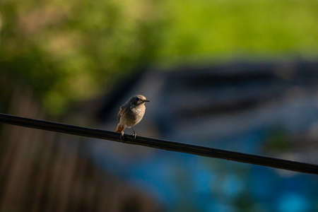 Black redstart bird sitting on electric cable, close up Stok Fotoğraf
