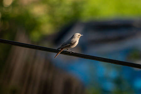 Black redstart sitting on electric cable