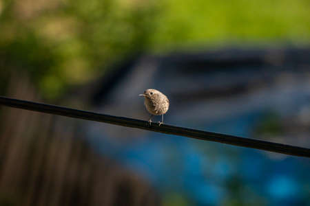 Black redstart bird resting on electric cable