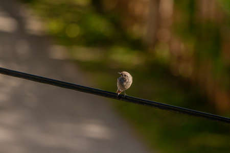 Black redstart bird sitting on electric cable