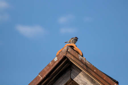 House sparrow sitting on rooftop Standard-Bild