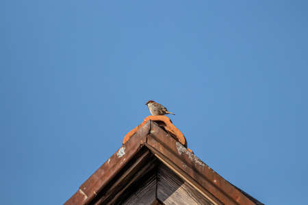House sparrow sitting on top of rooftop
