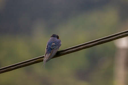 Barn swallow sitting on electric cable, day time