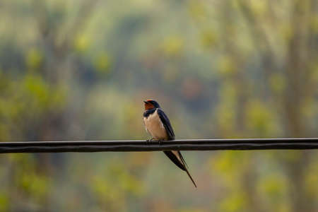 Barn swallow sitting on electric cable, close up