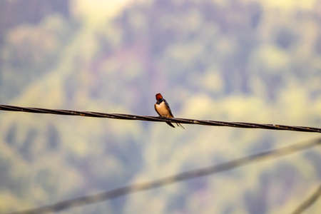 Barn swallow resting on electric cable