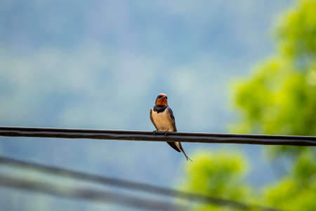 Barn swallow sitting on electric cable Stok Fotoğraf