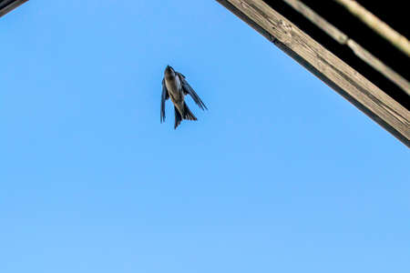 Barn swallow with open short wings