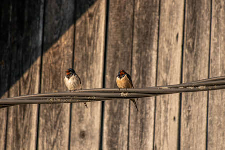Barn swallows standing on electric cable