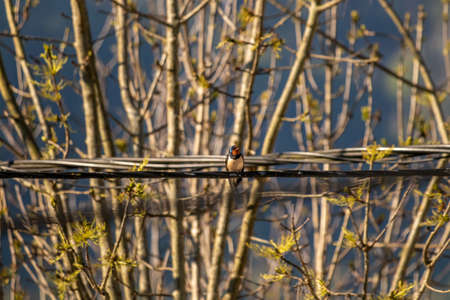 Barn swallow resting on electric cable with tress