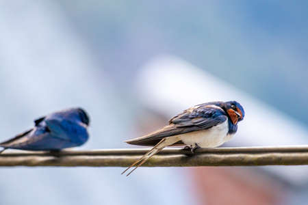 Barn swallows sitting on electric cable Banque d'images