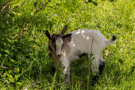 Small domestic goat grazing, close up