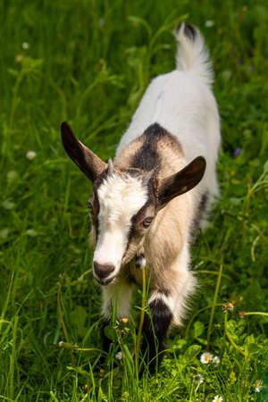 Small domestic goat grazing 版權商用圖片