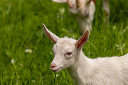 Small white domestic goat grazing
