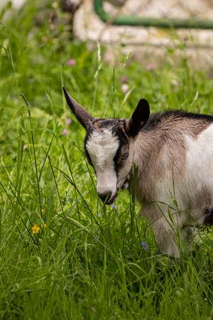 Small brown and white domestic goat 版權商用圖片