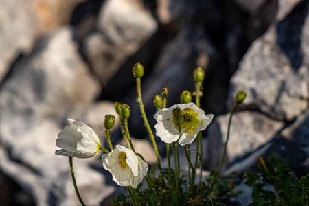 White Papaver alpinum flowers on rock 免版税图像