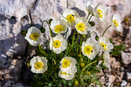 White Papaver alpinum flowers in the mountains, close up
