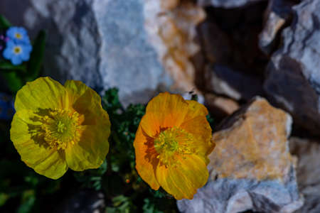 Pretty Papaver alpinum flowers in the mountains, close up