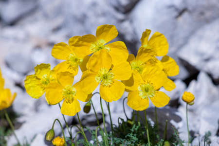Pretty Papaver alpinum flowers in the mountains