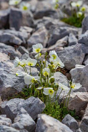 White Papaver alpinum flowers on stones