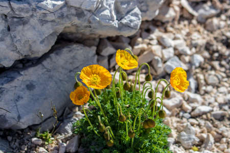 Orange Papaver alpinum flowers in the mountains 免版税图像