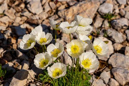 A bunch of White Papaver alpinum flowers
