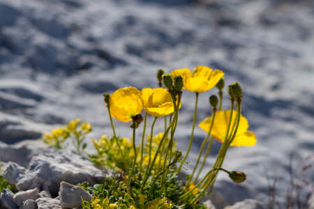 Papaver alpinum flowers in the mountains, close up 免版税图像