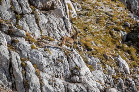 Small ibex standing on rock 免版税图像