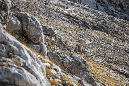 Ibex's family in high mountains