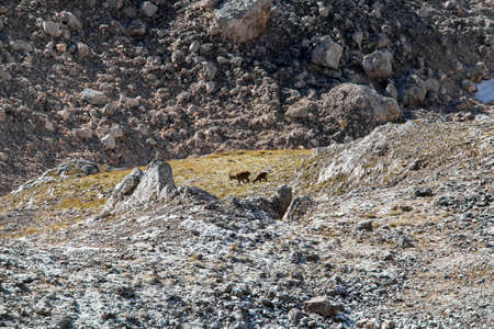 Two Ibex's feeding in high mountains