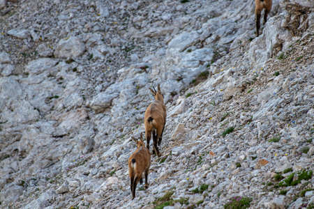 Chamoises in high mountains, morning