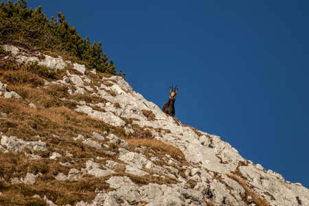 Chamois standing on rock, morning time Banque d'images