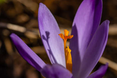 Crocus plant in the forest, close up