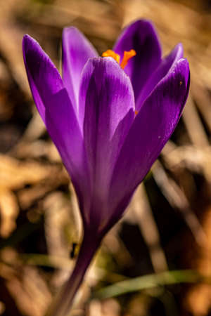 Crocus plant in the forest