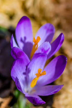 Two crocus plants in the forest