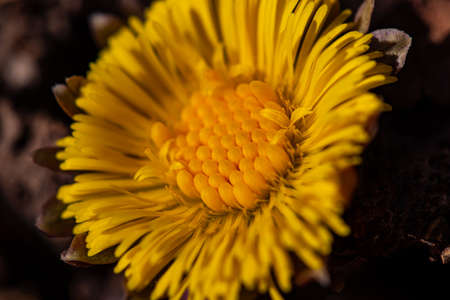 Coltsfoot flower blooming in forest