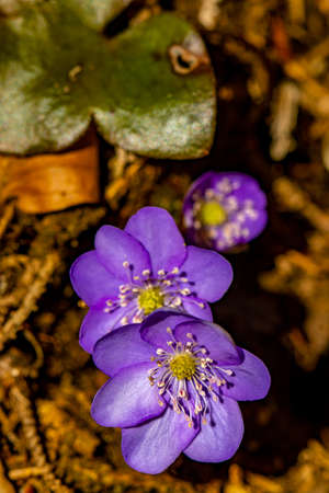 Hepatica flowers in the forest