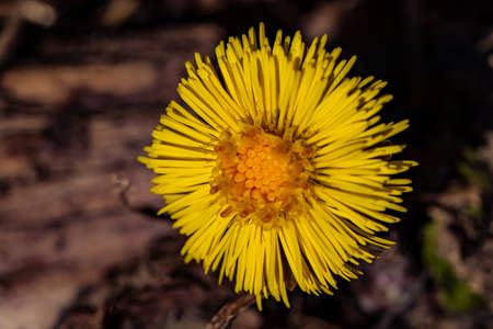 Coltsfoot flower in the forest